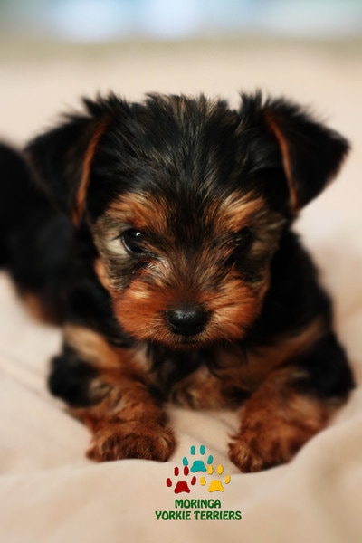 Natural Conditioner For Yorkie Hair